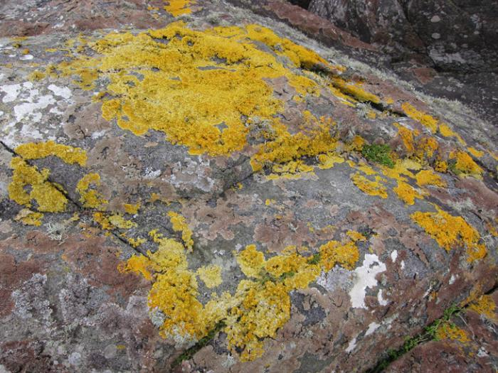 gold moss